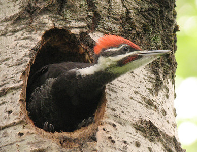 Pileated Woodpecker 18