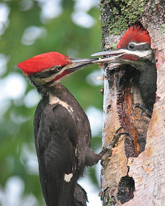 Pileated Woodpecker 14