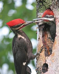Pileated Woodpecker 14