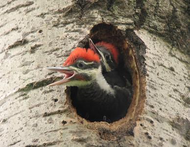 Pileated Woodpecker 15