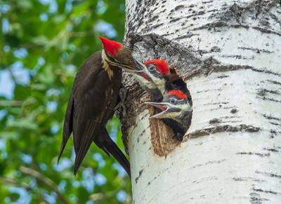 Pileated Family 48