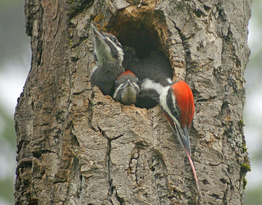 Pileated Woodpecker 28