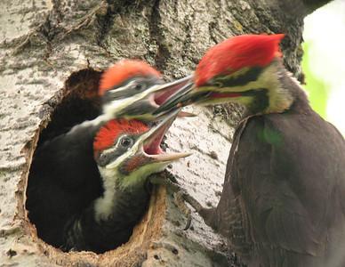 Pileated Woodpecker 19