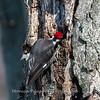 Pileated-Hawk-Bluebird-18-March-2017-9945