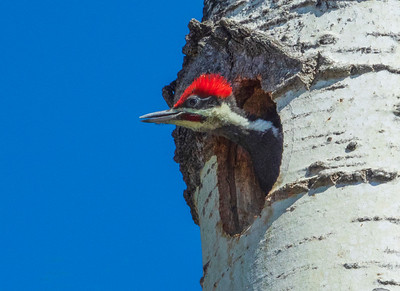 Pileated Family 49