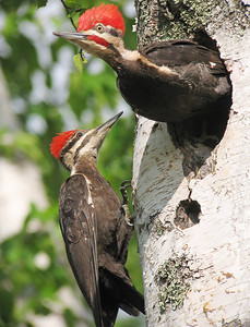Pileated Woodpecker 9