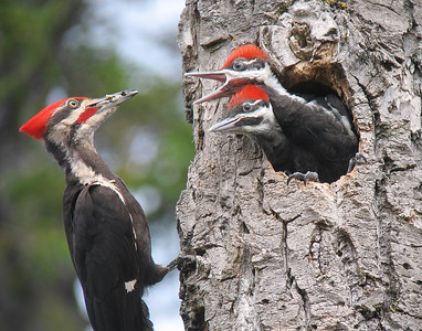 Pileated Woodpecker 25