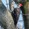 Pileated-Hawk-Bluebird-18-March-2017-0026