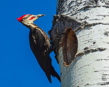 Pileated Family 50