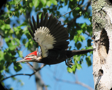 Pileated Woodpecker 5
