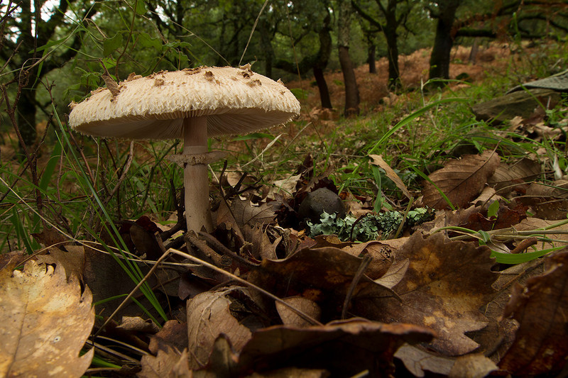 """Lepiota """"as it stands"""""""
