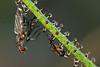 """Drosophyllum lusitanicum, a couple of preys in """"Los Alcornocales"""" Natural Park"""