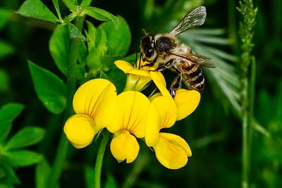 Honey Bee (Brighton (Sewage Lagoons)