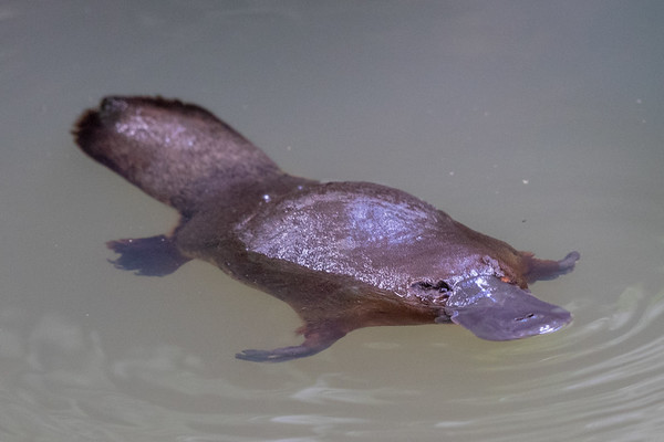 Platypus (Ornithorhynchus anatinus) - Yungaburra, Queensland