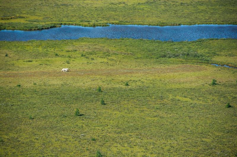 Aerial view of polar bear