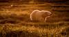 Polar Bear Cub at Sunset