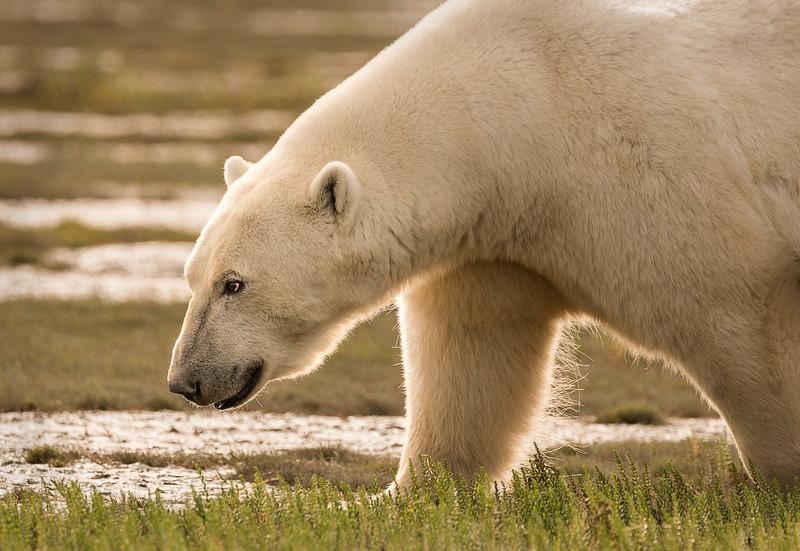 Young, male polar bear