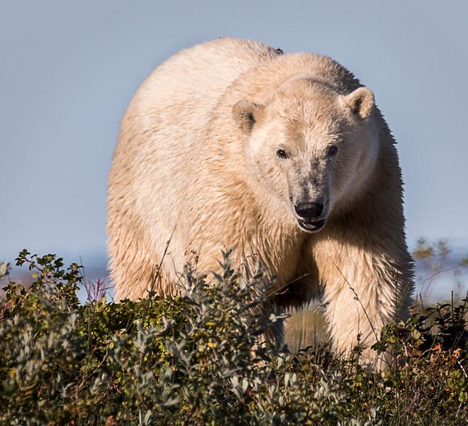 Polar bear after a swim in the Hudson Bay