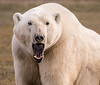 Young, male polar bear