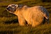 Polar Bear at Sunset
