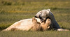 Mother polar bear and cub at play!
