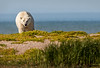 Polar bear after a swim in the Hudson Bay