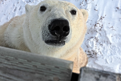 "Up Close with a large male Polar Bear at Churchill, Manitoba, the ""Polar Bear Capital of the World."""