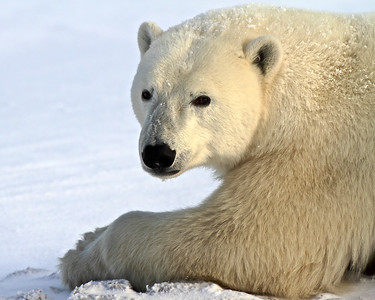 "Magnificent Polar Bear at Churchill, Manitoba, the ""Polar Bear Capital of the World."""