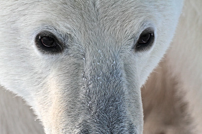 This magnificent polar bear is an endangered species.