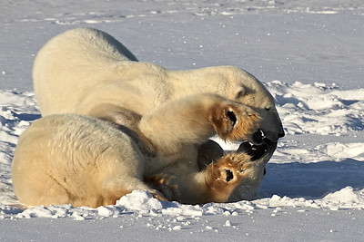 "Polar Bears ""Sparring,"" Churchill, Manitoba, ""Polar Bear Capital of the World.""  More Sparring in Action Sequence gallery"