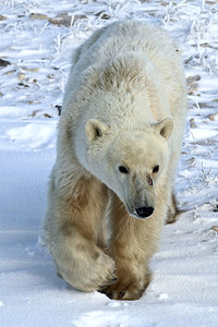 This Polar Bear got curious and came to the Tundra Rover to investigate--smelled sandwiches?