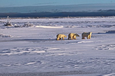 Watchful Polar Bear Mom with her cubs