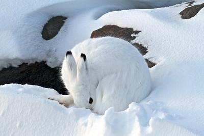 An Arctic Hare--hard to find in the snow!