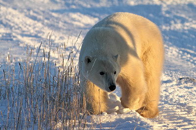 "Curious Polar Bear investigates our vehicle at Churchill Manitoba--the ""Polar Bear Capital"" of the world"