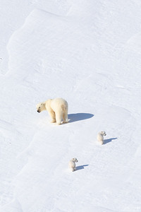 Polar Bear and cubs