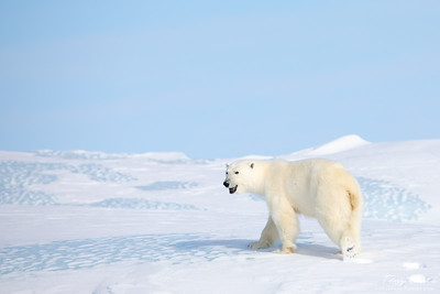 Polar Bear Walking on an Iceberg