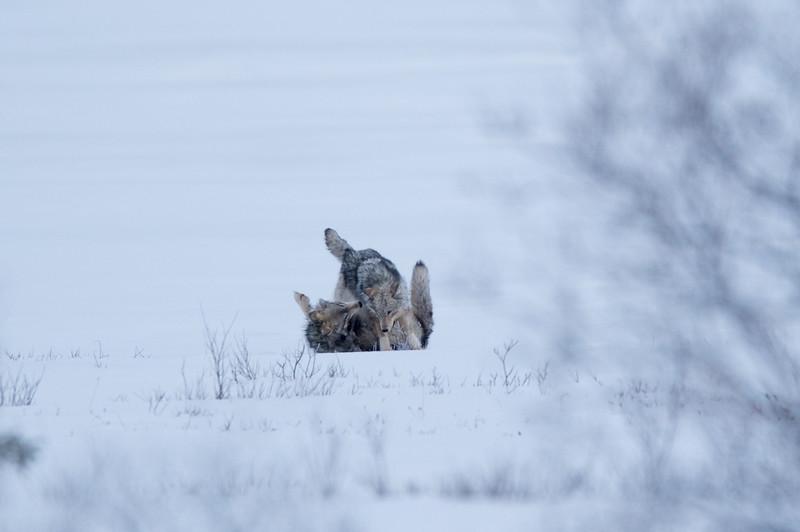 Wolf play III