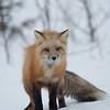 Fox wisk