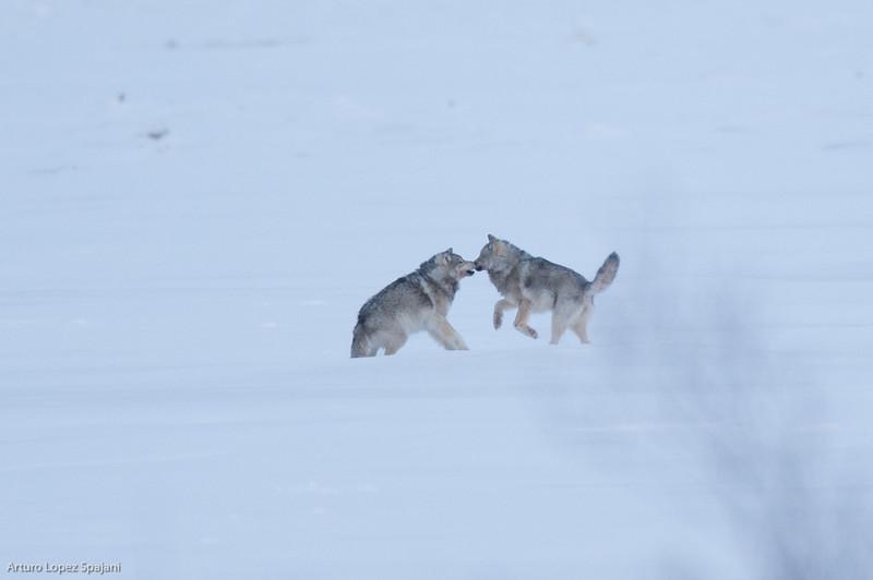Wolf play IV