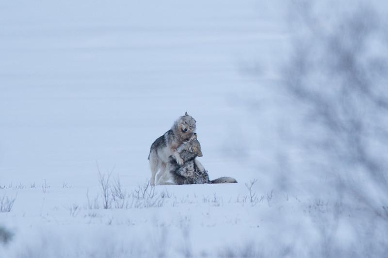 Wolfs play II