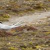 Artic Tern Feeding