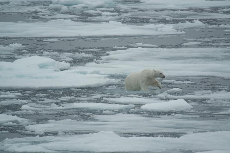 Light Bear on ice