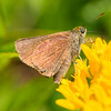 Unidentified brown moth on Butterfly weed (asclepias tuberosa)