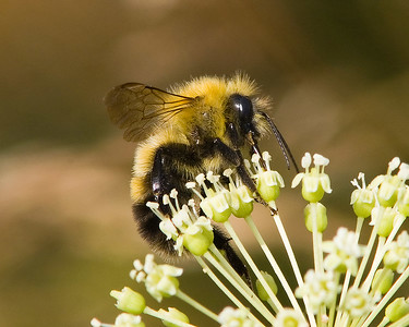 Bumblebee on Sarsparilla