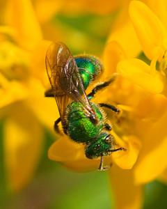 Metallic green bee (Agapostemon) on Butterfly weed (asclepias tuberose)