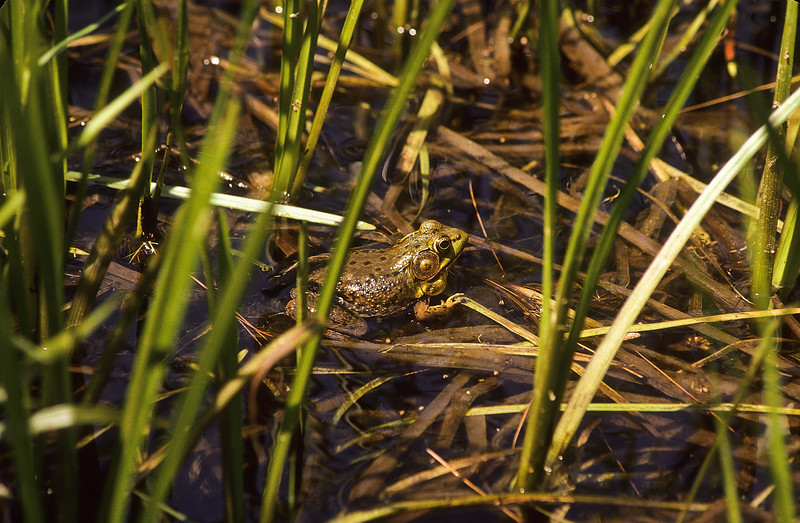 A small frog hiding in the reeds of his pond.