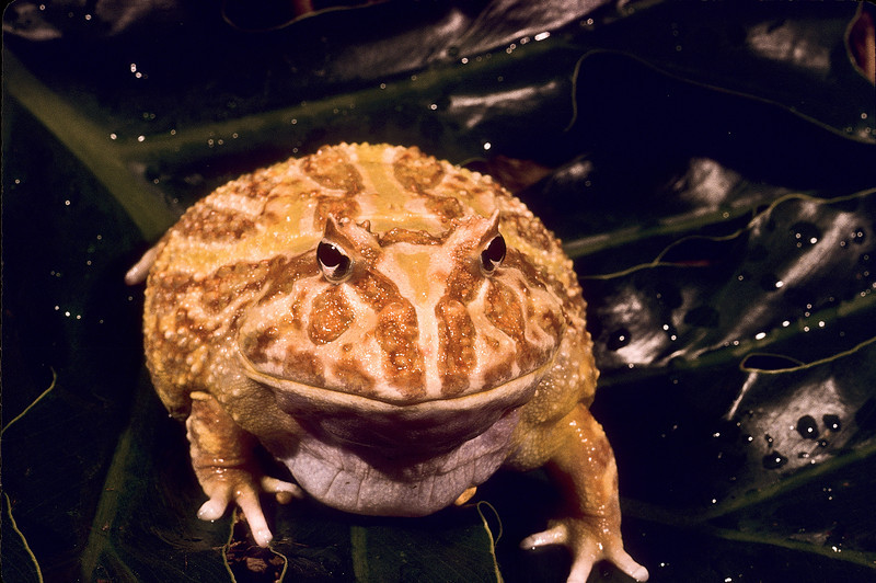 A beautiful toad, worthy of a kiss.