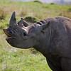 Singing Rhino
