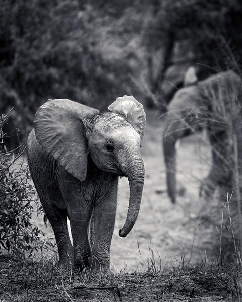 Curious Elephant Calf
