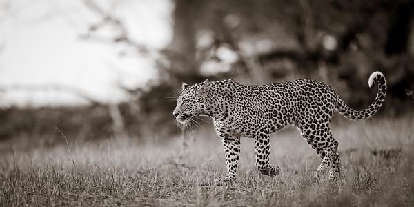 Dawn Leopard